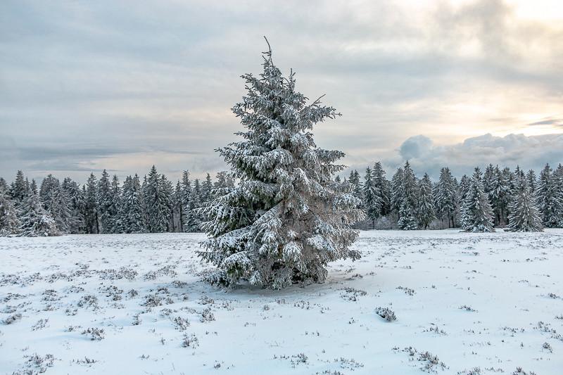 sapin solitaire devant une forêt