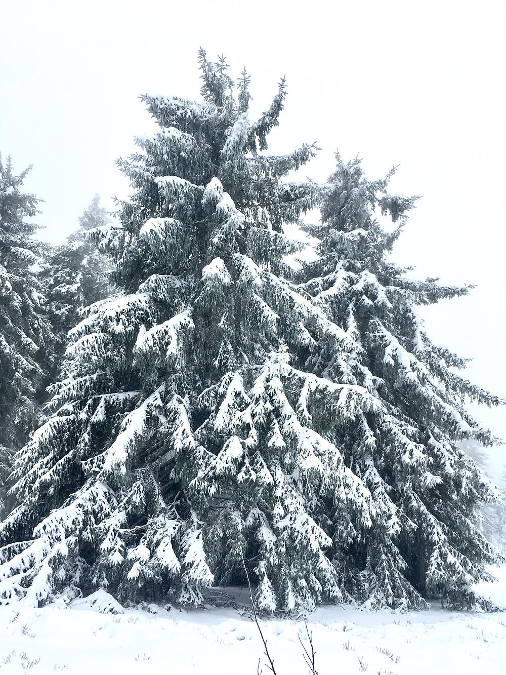 sapin sous la neige et brouillard