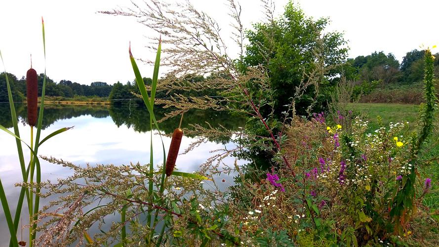 jolie plantes d'eau au bord de l'étang