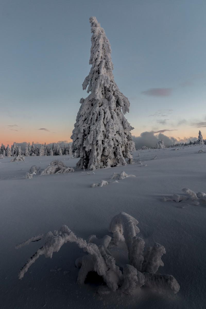 sapin solitaire glacé dans une prairie enneigée