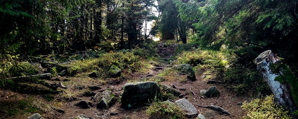 chemin forestier bordé de forêt de sapins