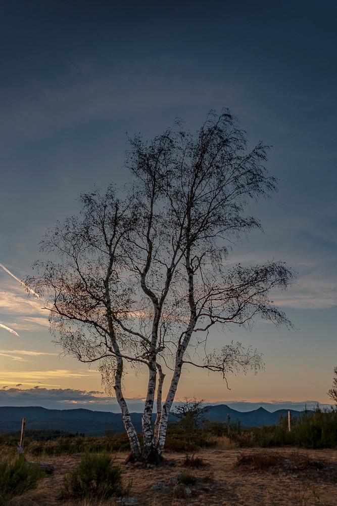 arbre aux multiples troncs au sommet d'une colline