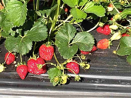 Strawberries in field-min-min.jpg