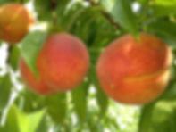 2 peaches on tree copy-min-min.jpg