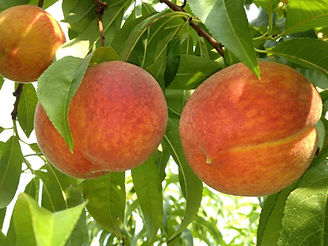 2 peaches on tree copy-min-min.jpg