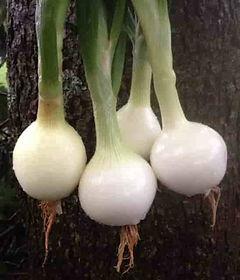 Sweet Onions-min.JPG