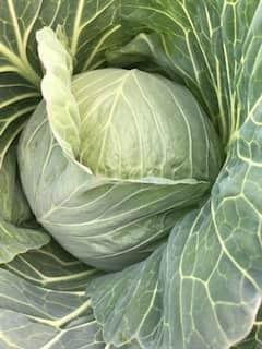 Cabbage-min.JPG
