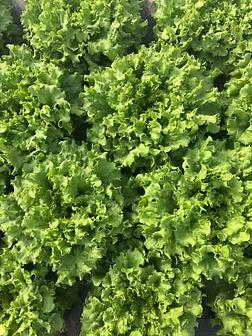 Lettuce-min.JPG