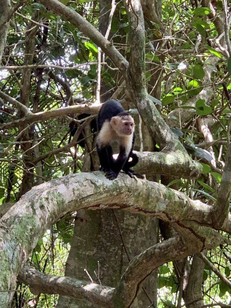 White faced monkey in Manuel Antonio