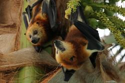 Fruit Bats Mauritius