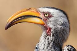 Hornbill Kruger