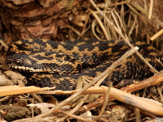 Adders in Thetford Forest