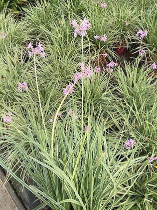 Grande Tulbaghia Silver Lace fleur comestible pot 5L