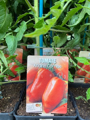 Tomate greffée Andine Cornue