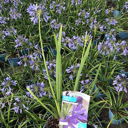 Agapanthe 'Vallée du Lathan' fleur bleue stade : en fleur  pot 2L