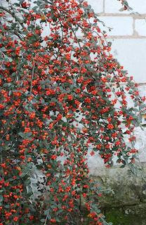 Cotoneaster lacteus pot 2L