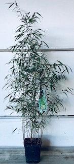 Bambou Fargesia scabrida Asian Wonder c5 100/120cm