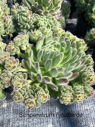 Joubarde / Simpervivum pot 10cm variée