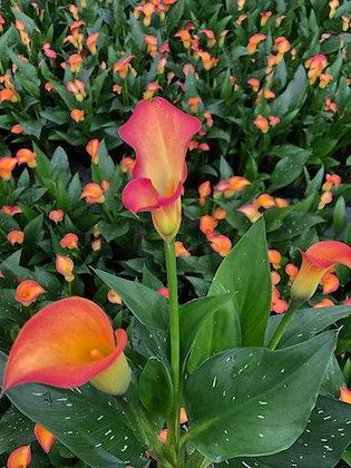 ARUM orange (Calla) gros godet