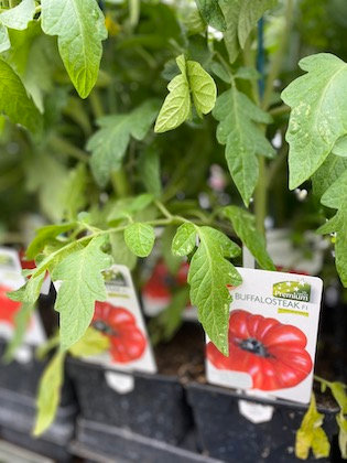 Tomate greffée BUFFALOSTEAK F1
