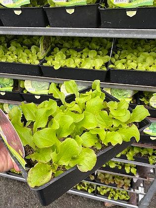 Barquette de 24 salades 1 variété/barquette variété au choix à la livraison