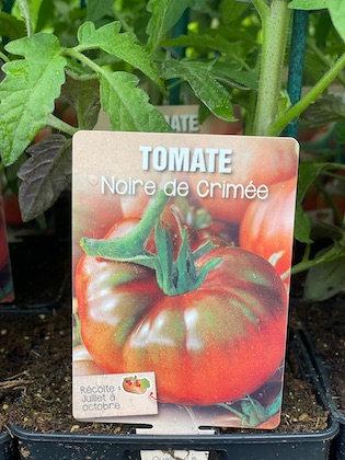 Tomate noire de Crimée greffée