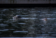 A seal exploring Saanich Inlet