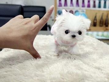 Cuccioli di taglia TOY