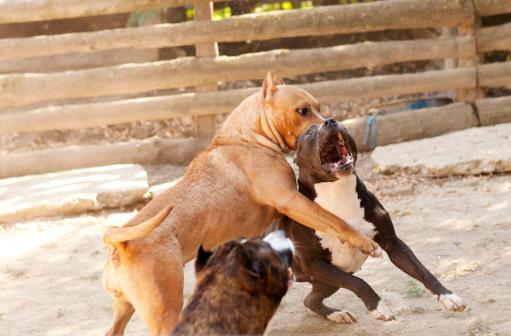 Se Ne Dicono Tante Sul Pit Bull Esposizioni Canine Icbd Club