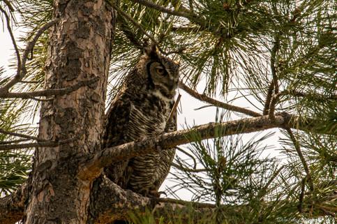Great Horn Owl 3