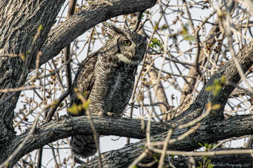 This adult owl, along with its mate, aere nesting not far from my house in Louisville, Colorado  2021