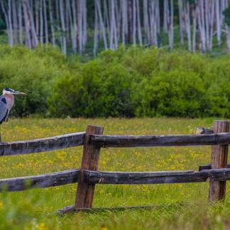 CO_Steamboat Lake_Blue Heron_Joe Falace