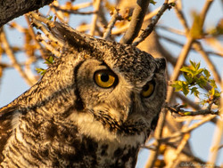 CO_Louisville_Great Horned Owl_behind Je