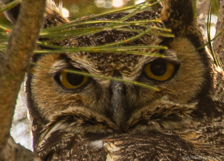 Close Up of a Great Horn Owl
