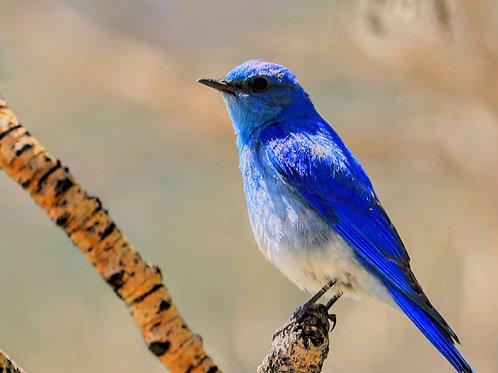Mountain Bluebird RMNP