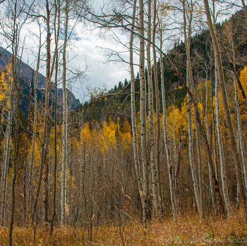 Rocky Mountain Aspen