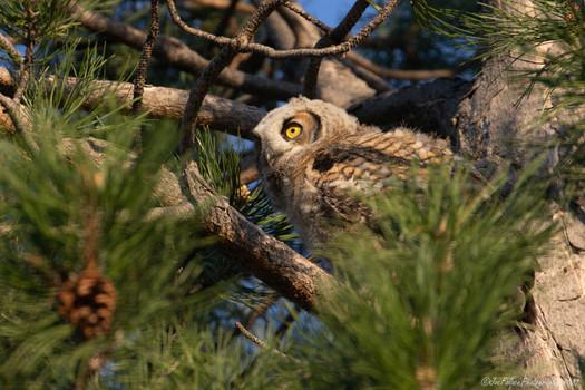 A juvenile Great Horn Owl