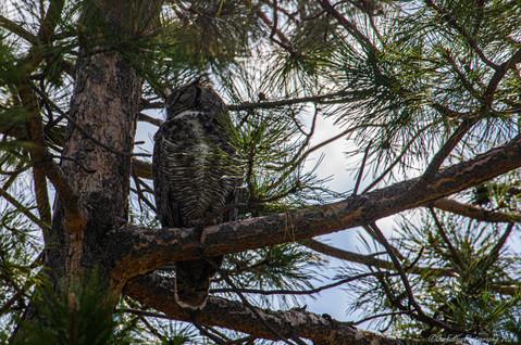 Great Horn Owl 1