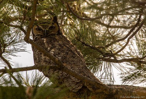 Great Horn Owl 2