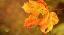 Collecte de feuilles | 11 novembre