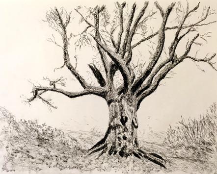 Shotover Tree