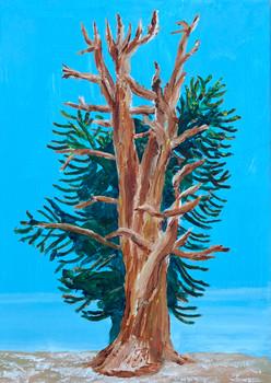 Ancient bristle cone pine, White Mountains