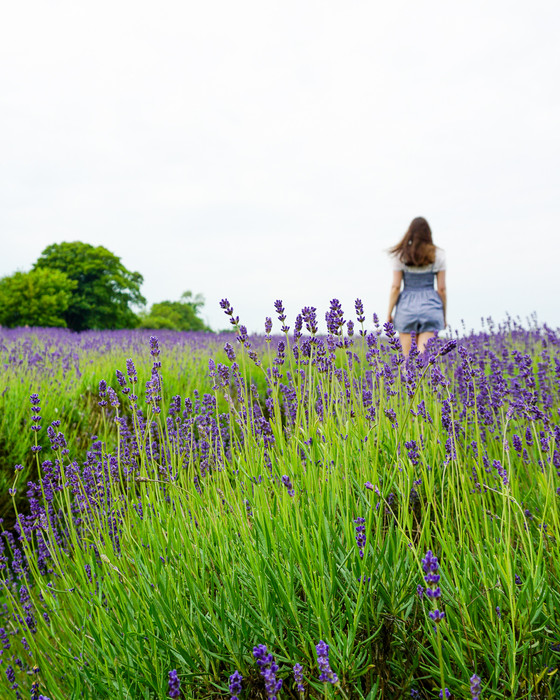 London's Lavender Fields