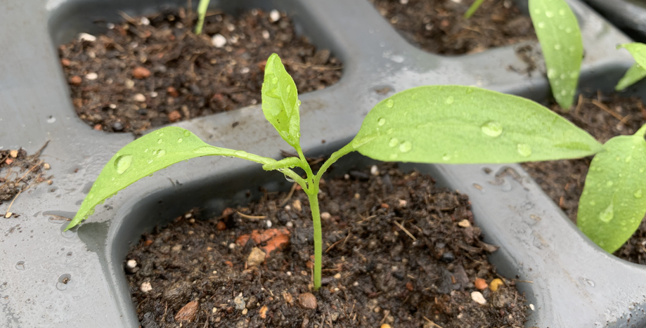Chilipflanzensetzling