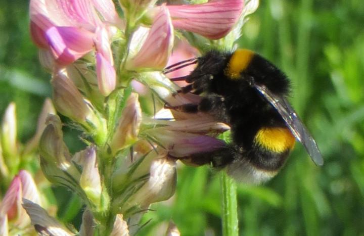 Esparsette mit Biene