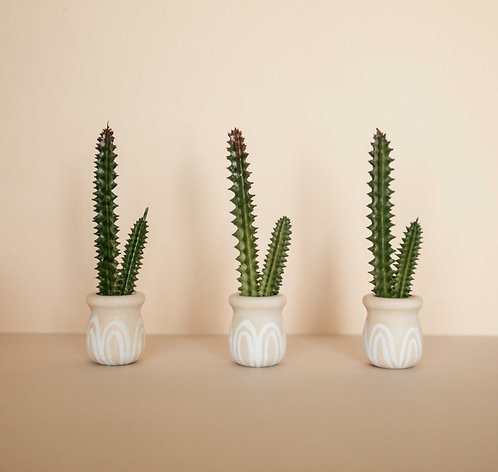 Painted Pot Cactus