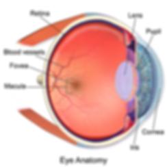 Blausen_0389_EyeAnatomy_02.png