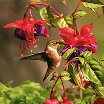 Hummingbird1_%2540bryan-hanson_edited_ed