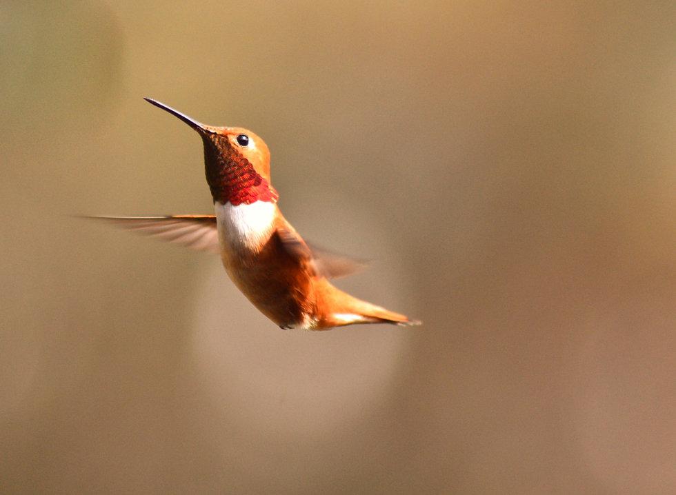 HummingbirdOrange_bryan-hanson.jpg