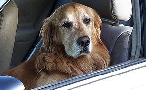 dog-car.jpg